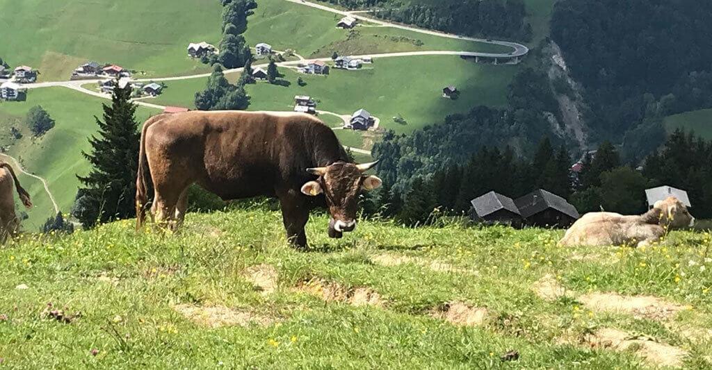 Gehe Kühen mit spitzen Hörnern lieber aus dem Weg und mache einen großen Bogen um sie.
